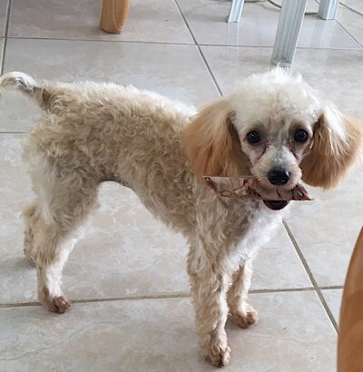 5 months  Purebred Toy Poodle