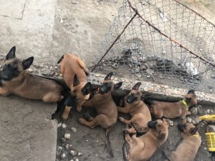 Pure breed Belgian Malinois puppies