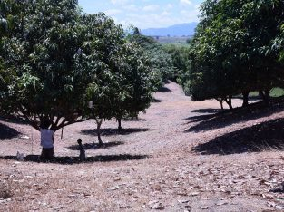 MANGO PLANTATION IN AMLAN