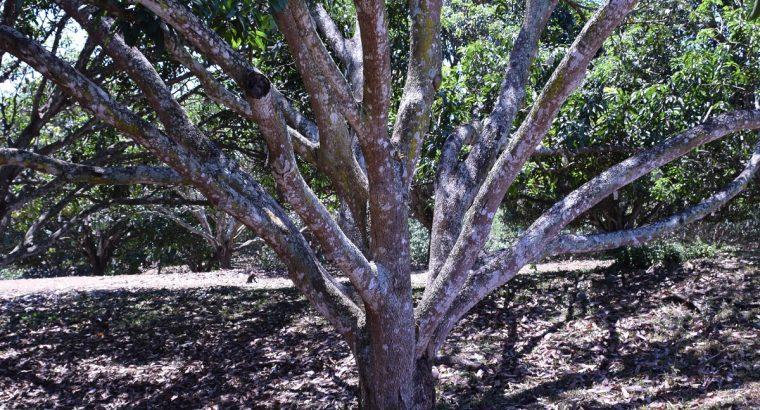 MANGO PLANTATION IN AMLAN