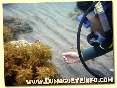 diving sumilon