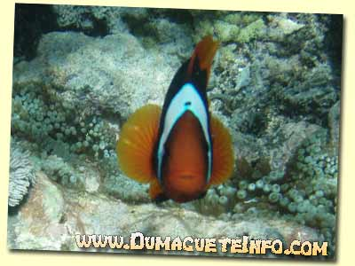 sumilon clown fish