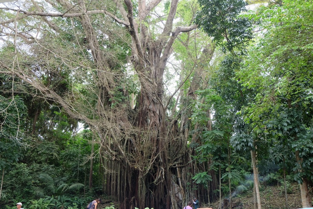 behold, the famous balete tree that has been alive for four centuries